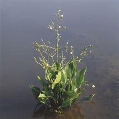 Afbeelding van Alisma plantago-aquatica
