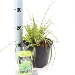 Afbeelding van Carex morrowii Vanilla Ice