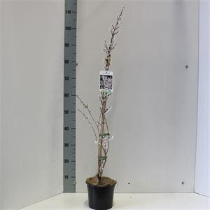 Afbeelding van Abeliophyllum distichum