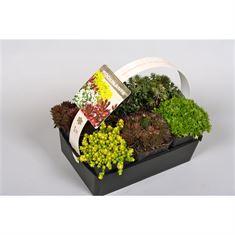 Afbeelding van rotsplanten gemengd 6-pack