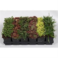Afbeelding van rotsplanten gemengd tray 24