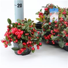 Afbeelding van Gaultheria procumbens Red Diamond