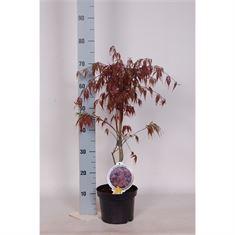 Afbeelding van Acer palm. Garnet 30-40 c3
