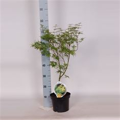 Afbeelding van Acer palm. Seiryu 40-50 C3