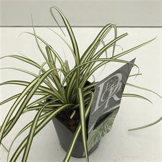 Afbeelding van Carex Evergold