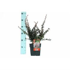 Afbeelding van Berberis thunbergii Darts Red Lady