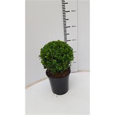 Afbeelding van Buxus sempervirens