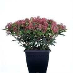 Afbeelding van Skimmia japonica Antarctica 4kante pot