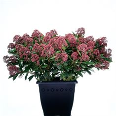 Afbeelding van Skimmia japonica Rubesta 4kante pot