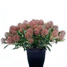 Afbeelding van Skimmia japonica Rubesta Cuba 4kante pot