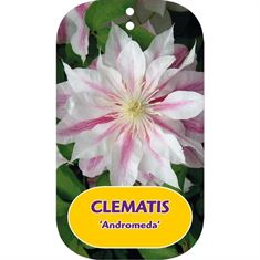 Afbeelding van Clematis Andromeda