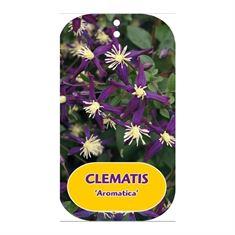 Afbeelding van Clematis Aromatica