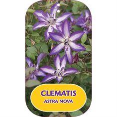 Afbeelding van Clematis ASTRA NOVA Zo09085 PBRaf & PPaf