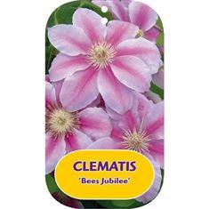 Afbeelding van Clematis Bees Jubilee