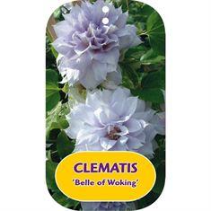 Afbeelding van Clematis Belle of Woking