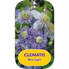Afbeelding van Clematis Blue Light PBR & PP