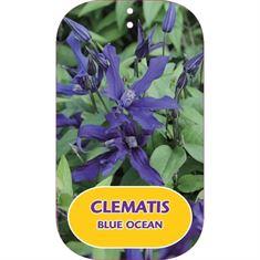 Afbeelding van Clematis BLUE OCEAN Zo09045 PBR & PP
