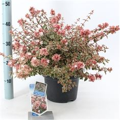 Afbeelding van Abelia grandiflora Magic Daydream
