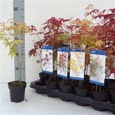 Afbeelding van Acer palmatum in soorten