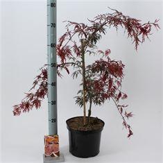 Afbeelding van Acer palmatum Inabe Shidare