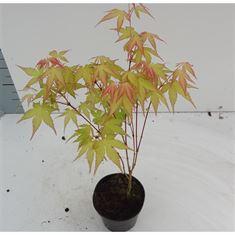 Afbeelding van Acer palmatum Katsura