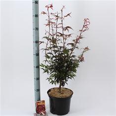Afbeelding van Acer palmatum Shaina