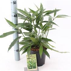 Afbeelding van Aucuba japonica Salicifolia