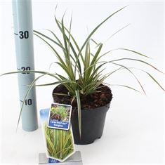 Afbeelding van Carex morrowii Everglow