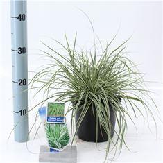 Afbeelding van Carex oshimensis Everest