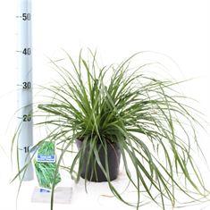 Afbeelding van Carex oshimensis Evergreen