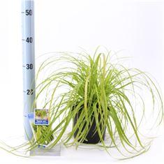 Afbeelding van Carex oshimensis Everillo