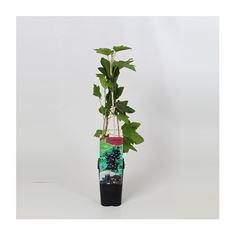 Afbeelding van Ribes nigrum Titania