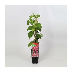 Afbeelding van Rubus idaeus Malling Promise