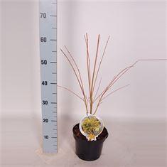 Afbeelding van Acer palm. Sangokaku 40/50 C3