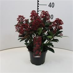Afbeelding van Skimmia jap Rubella  10+ bloem
