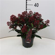 Afbeelding van Skimmia jap Rubella  15+ bloem