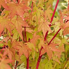 Afbeelding van Acer palmatum Sangokaku