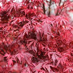 Afbeelding van Acer palmatum Shiana