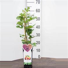 Afbeelding van Ficus c. Brown Turkey 2 liter (vijg)