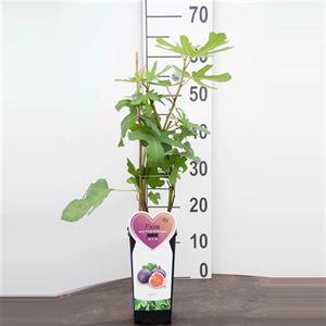 Afbeelding van Ficus c. Rouge de Bordeaux 2 liter (vijg)