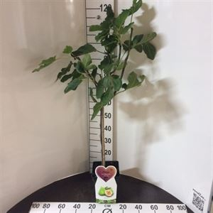 Afbeelding van Ficus carica Blanca Gota