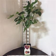 Afbeelding van Ficus carica Napolitana
