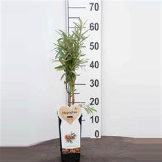 Afbeelding van Hippophae rhamnoides Leikora (Duindoorn), 2 liter