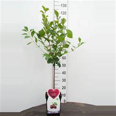 Afbeelding van Kers Dwergfruit - Mini-kers 5 liter