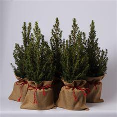 Afbeelding van Picea glauca Conica jute met strik
