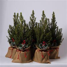 Afbeelding van Picea glauca Conica jute met strik en toef