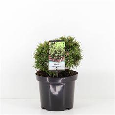 Afbeelding van Pinus mugo Benjamin