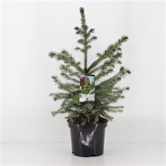 Afbeelding van Picea omorika