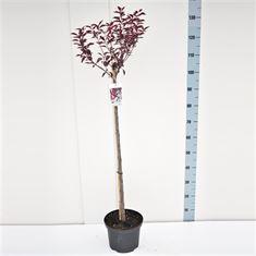 Afbeelding van Prunus cistena 80ST