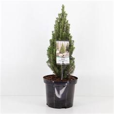 Afbeelding van Picea glauca Zuckerhut